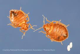 Bed Bug Com Bed Bug Biology Bed Bug Size Bed Bug Color U0026 Anatomy Pestworld