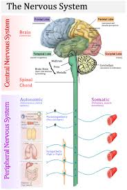 Male Internal Organs Anatomy Anatomy Chart Of Human Internal Organs Male Diagram Template
