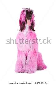 afghan hound hairstyles portrait afghan hound stock images royalty free images u0026 vectors