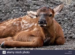 kanada fläche ein neugeborenes elchkalb cervus elaphus festlegung auf einen