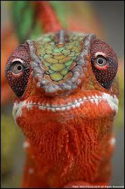 Backyard Reptiles Fabulous Shot Of A Panther Chameleon Animals Pinterest