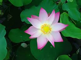 Lotus Flower Bloom - free photo lotus flower green plant bloom free image on