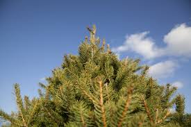 your guide to mid michigan u cut christmas tree farms mlive com