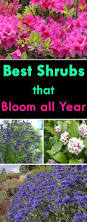 best shrubs that bloom all year foundation planting flowering