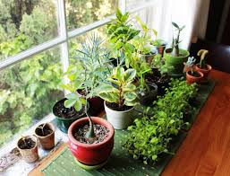 plants at home vastu plants for your house the royale