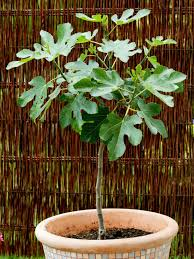 how to pot fruit trees repotting trees hgtv