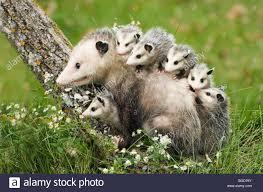 virginia opossum animal stock photos u0026 virginia opossum animal