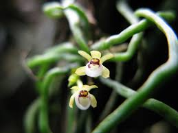 Orchids Facts by Taeniophyllum Biocellatum Root Orchids Here Are Some Kinds Of