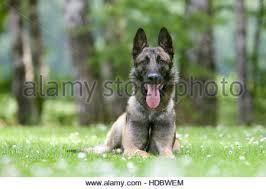 belgian shepherd dog malinois belgian shepherd dog malinois german federal bundespolizei