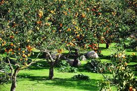 panoramio photo of ανάπαυση resting by the orange trees