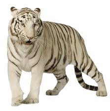 download white tiger free png photo images and clipart freepngimg