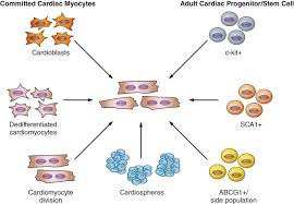 Tissue Renewal Regeneration And Repair Articles Physiological Reviews