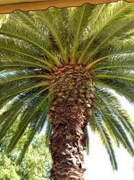palm tree at madrona manor in healdsburg california sonoma