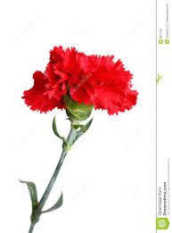 red carnation flower isolated on white stock photo image 8217250