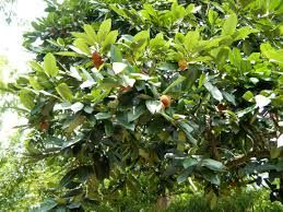 diospyros blancoi useful tropical plants