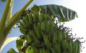 how to grow bananas essential tips on growing banana trees