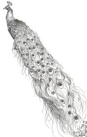 black and white peacock with extra long tail tattoo design by a