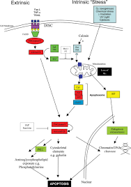 granulocyte apoptosis in the pathogenesis and resolution of lung