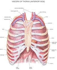 Human Anatomy Anterior Chest Bone Anatomy Human Anatomy Library