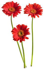 gerbera daisies hello miss scarlet gerbera gerbera hybrid proven winners