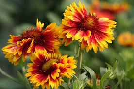 easy to grow flowering plant for beginners gaillardia