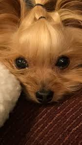 jhonny lexus mix youtube 66 best pets images on pinterest animals yorkies and puppies