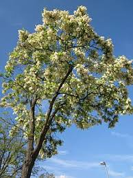 Tree With Little White Flowers - robinia pseudoacacia wikipedia
