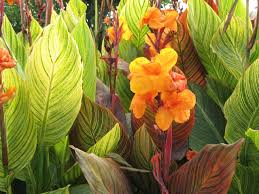 pictures of canna lillies canna lilies niagara falls on
