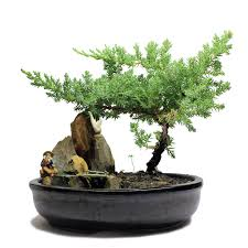 indoor medium koi pond figurine juniper bonsai tree