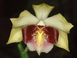 316 best yellow orchids images on pinterest orchid flowers