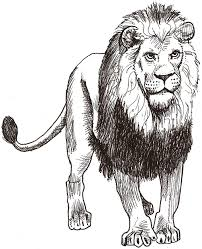 drawn lion african lion pencil color drawn lion african lion