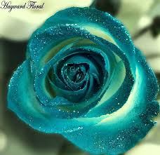 turquoise roses tip roses 25 teal