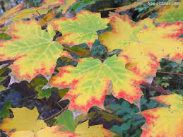 maple tree leaves picture