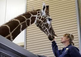 Zoo Lights Salt Lake City by 3 Week Old Giraffe At Hogle Zoo Dies Deseret News