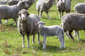 mastitis in sheep agriculture and food
