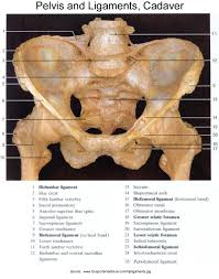 Muscles Of The Pelvic Floor Ppt by Anatomy Of The Pudendal Nerve Health Organization For Pudendal