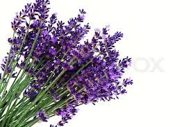 lavender flowers lavender flowers isolated against a white background purple summer