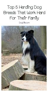 top 5 herding dog breeds that work hard for their family working