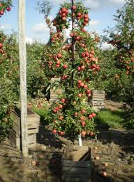 Planning A High Density Apple Orchard - Backyard orchard design