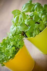 basilico in vaso malattie basilico coltivazione e conservazione