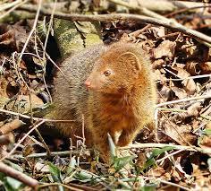 elusive garden visitor slender mongoose u2013 letting nature back in