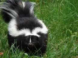 image detail for help my pet got skunked how to de skunk your cat