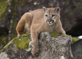 Washington wild animals images Cougar lying on a mossy rock inhabitat green design jpg
