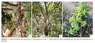 Vegetative Propagation By Roots - propagation of the neotropical fruit vaccinium meridionale swartz