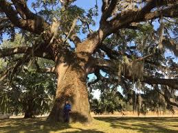 live oak tops the list of best oak trees of florida