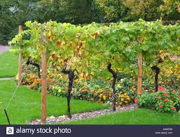 grape vine vine vitis vinifera vine stock photos grape vine vine