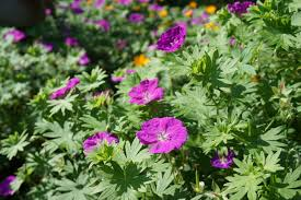 growing native plants geranium sanguineum bloody cranesbill is a lovely low growing
