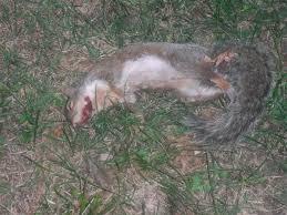 Dead Squirrel Meme - funny dead squirrel meme image quotesbae