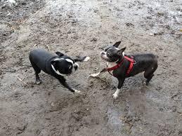 Boston Terrier Meme - my dog met another boston terrier today meme guy