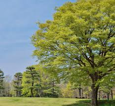 Green Vase Japanese Zelkova 8 Shade Trees To Help Cool Off In Summer Turf